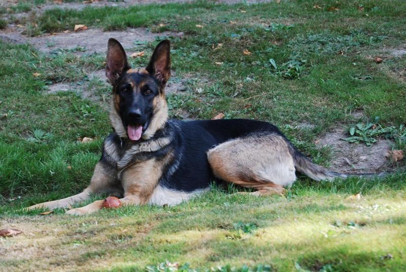 Adopt Elsa On German Shepherd Dogs Shepherd Dog Elsa