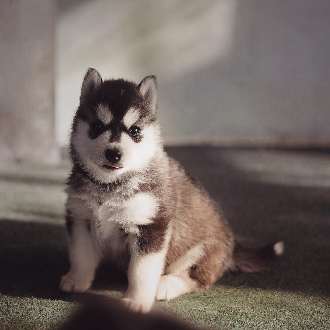 All the Husky puppies you could ever want in one Instagram account ... | Siberian Husky Puppies Bakersfield Ca