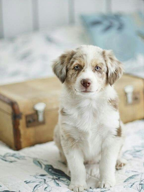 Pin By Alicia Montgomery On The Family Dog Baby Dogs Beautiful Dogs Aussie Puppies