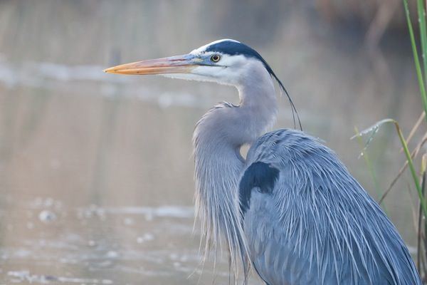 Encountering Great Blue Heron On >> Here Are Some Of The Public Encounters For Great Blue Heron For