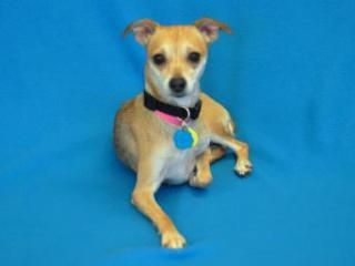 Adopted Lexie Female Terrier Animal Humane Society Dog