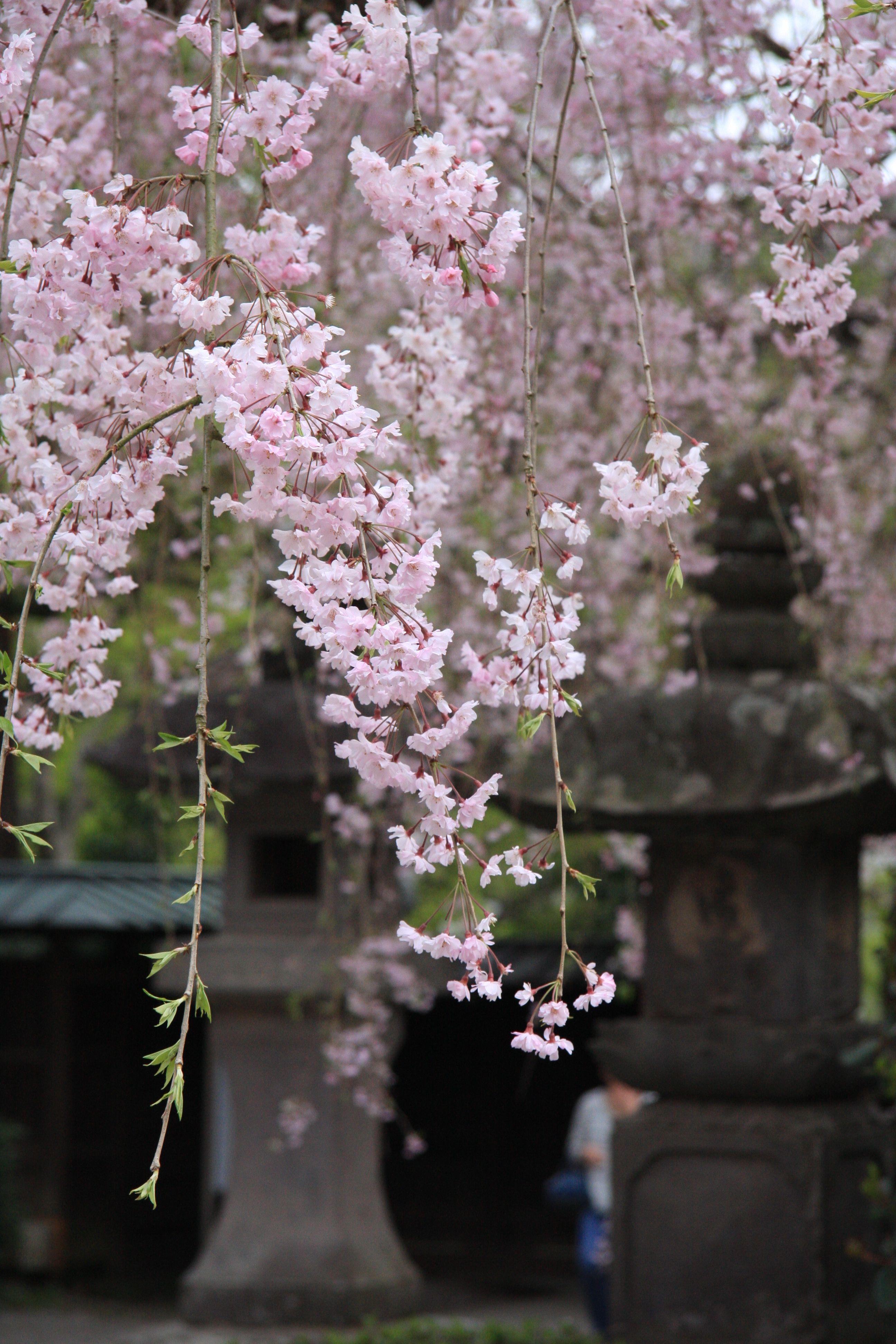 Weeping Cherry Tree Of Jindaiji Cherry Blossom Japan Weeping Cherry Tree Cherry Tree