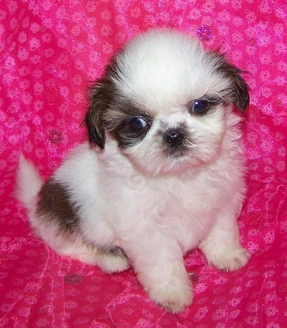 shih tzu puppies michigan share this pin with anyone needing to potty train a puppy 4434