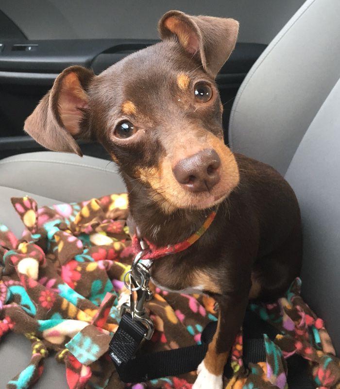 Chiweenie Dog For Adoption In Kennesaw Ga Adn 530938 On