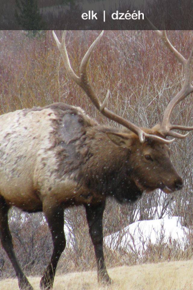 "Do you know the NAVAJO word for ""Elk""?"