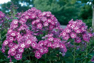 Laura Garden Phlox I Don T Know If Any Plant I Have Attracts