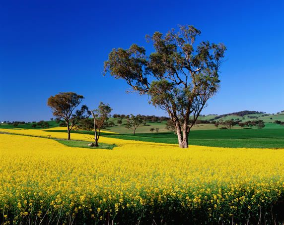 Ah those Summer fields. Eucalypt trees, New South Wales  Flowering canola crops and eucalypt trees.