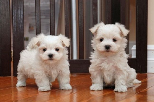 Yorkie Poo Puppies For Sale In Ma Zoe Fans Blog Yorkie Poo