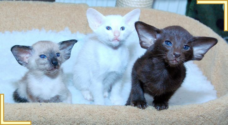 Siberian Kittens for Sale in Virginia AnaBella Siberians
