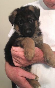 Litter Of 5 German Shepherd Dog Puppies For Sale In Duluth Ga