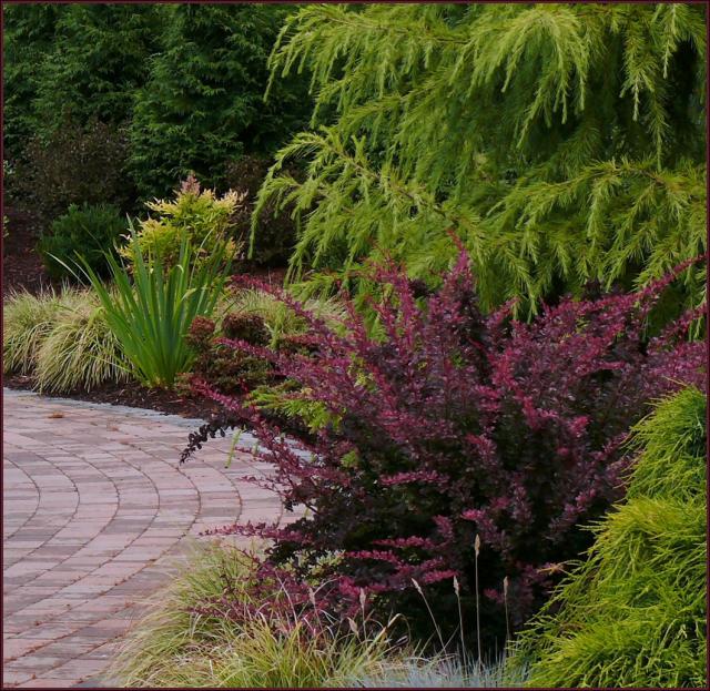 Maroon Garden Ideas: Berberis Thunbergii 'Rose Glow