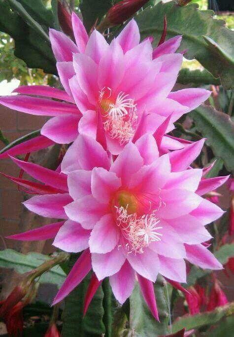 Pink Epipyllum Beautiful Flowers Bunga Cantik