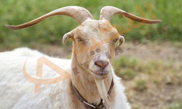 تفسير حلم التيس الذكر في المنام وهو من الحيوانات القوية والتي تتحمل العيش في بيئات مختلفة حيث أنها تعيش في أعلى قمم الجبال Goats Animals Reproductive System