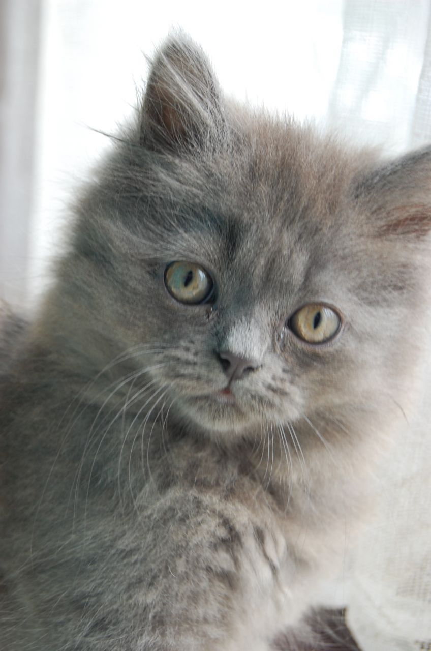 Pin By Joy Manning On Chats Cats Fluffy Kittens Grey Kittens For Sale Grey Kitten
