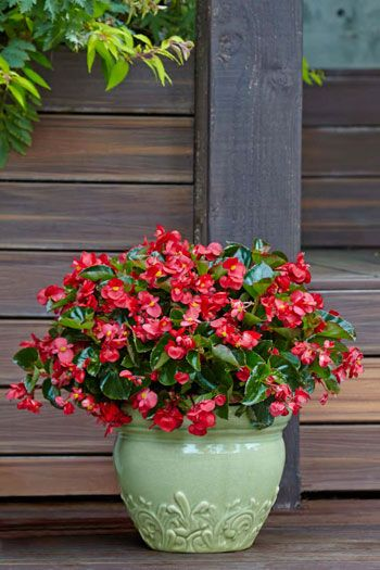 Virtues Surefire Begonia Comes In A Red And Rose Variety This Bedding Annual Doesn T Require Much If Any Prunin Shade Flowers Container Flowers Cool Plants