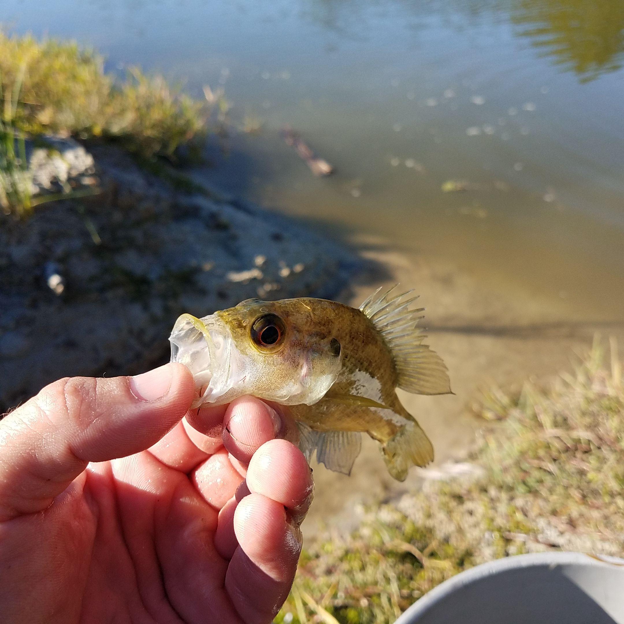 Juvenile Largemouth Bass For Lake Stocking, Pond Stocking