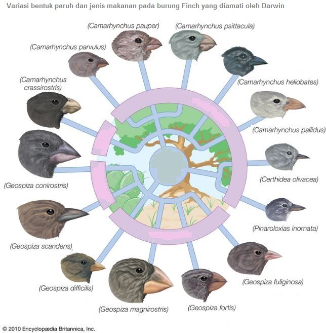 Teori Evolusi Darwin Charles Darwin 1809 1882 Evolusi Burung