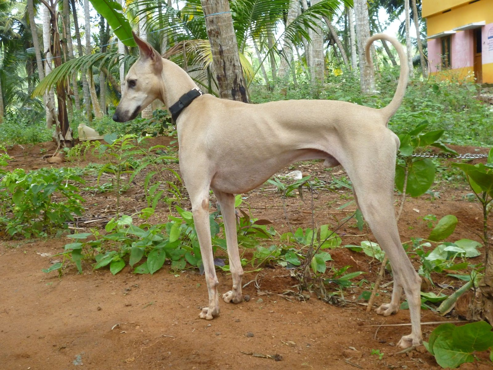 The Lut Dog Breed