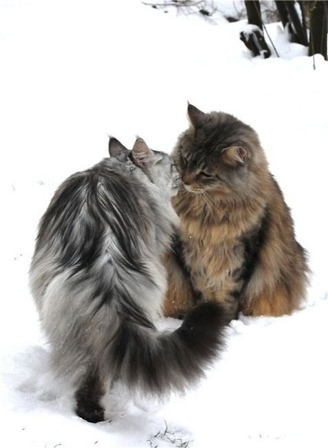 Norwegian forest cats - two of these babies, neutered and all, kept to catch mice and other small vermin around the farm..