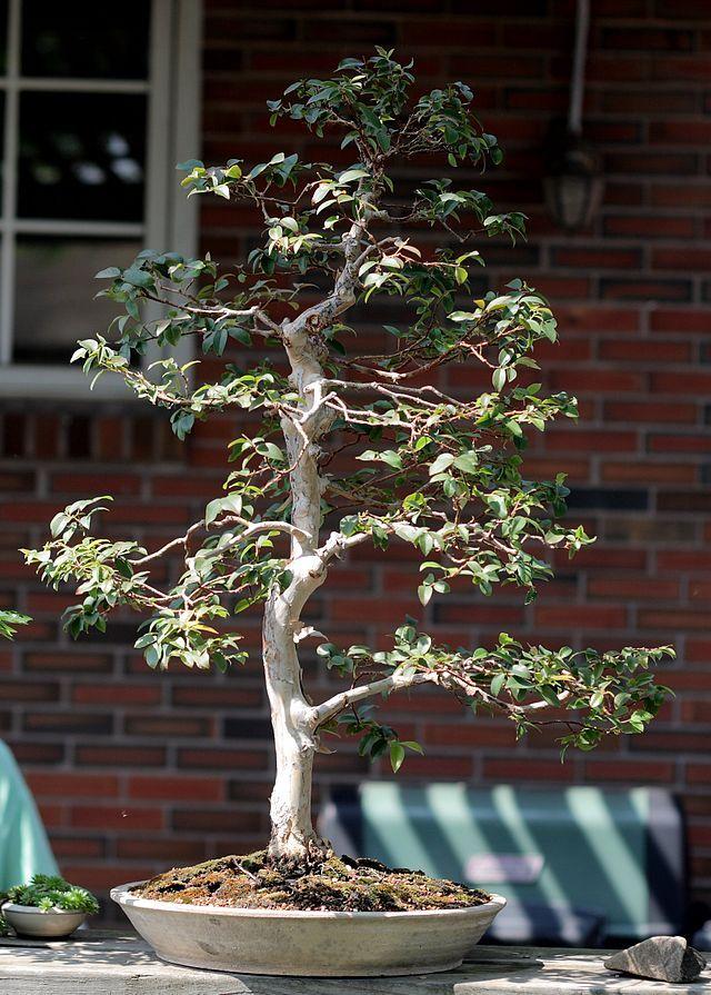 List Of Species Used In Bonsai Wikipedia The Free Encyclopedia Bonsai Tree Bonsai Fruit Tree Bonsai Nursery
