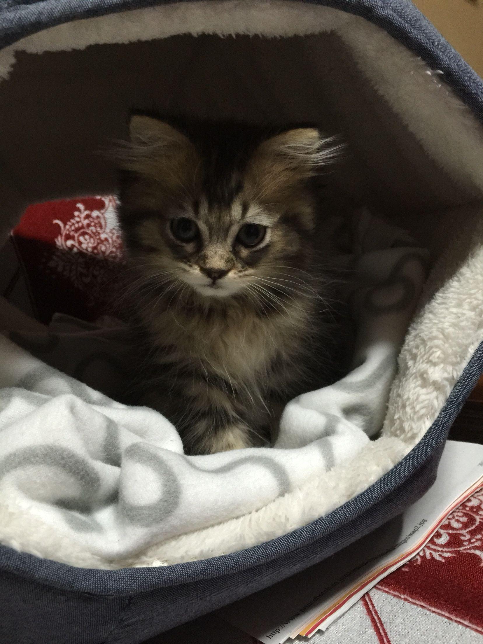 Name of the kitten is Kintoki.