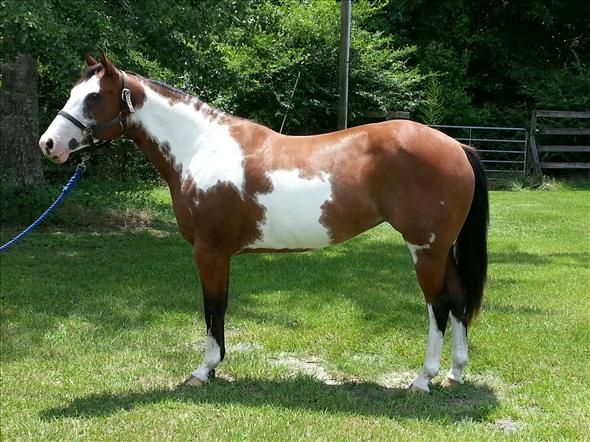 Overo Paint Horses Paint Overo Mare For Sale In Florida