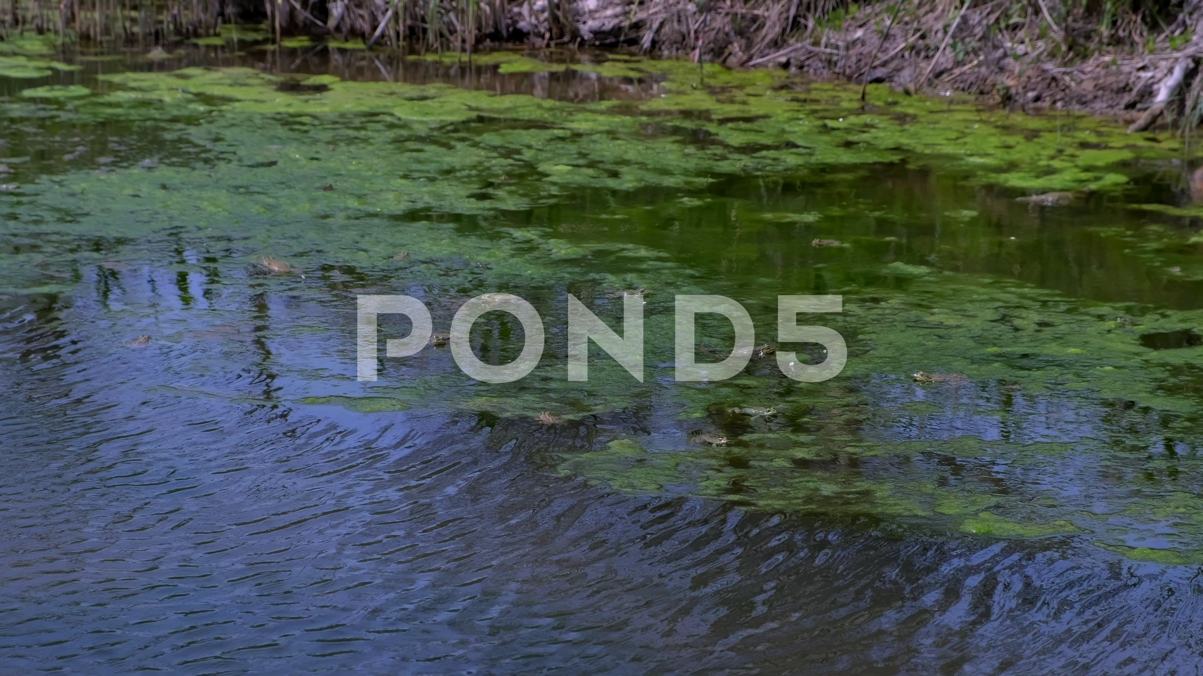 Many frogs in swamp, pond of murky water, full of green