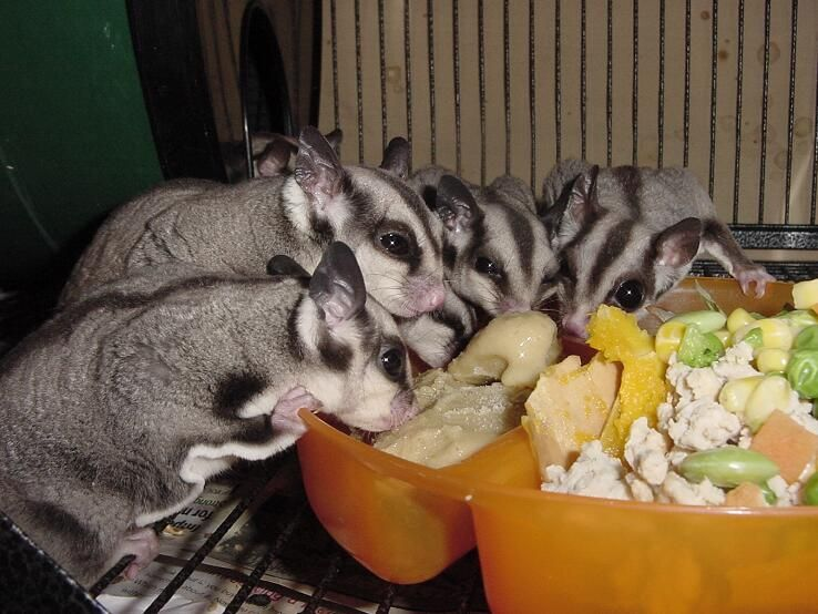 Best Food For Baby Sugar Gliders