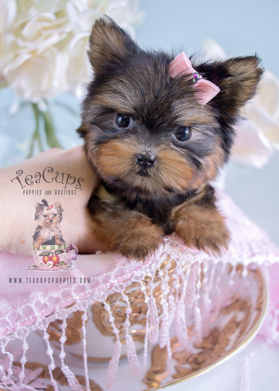 Teacup Yorkie Puppy 185 For Sale Turkishteaset With Images Teacup Yorkie Puppy Yorkie Puppy