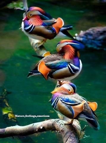 Mandarin Ducks are very colorful, bright feathers, soft, fluffy, neon (Are these Chinese ducks?)