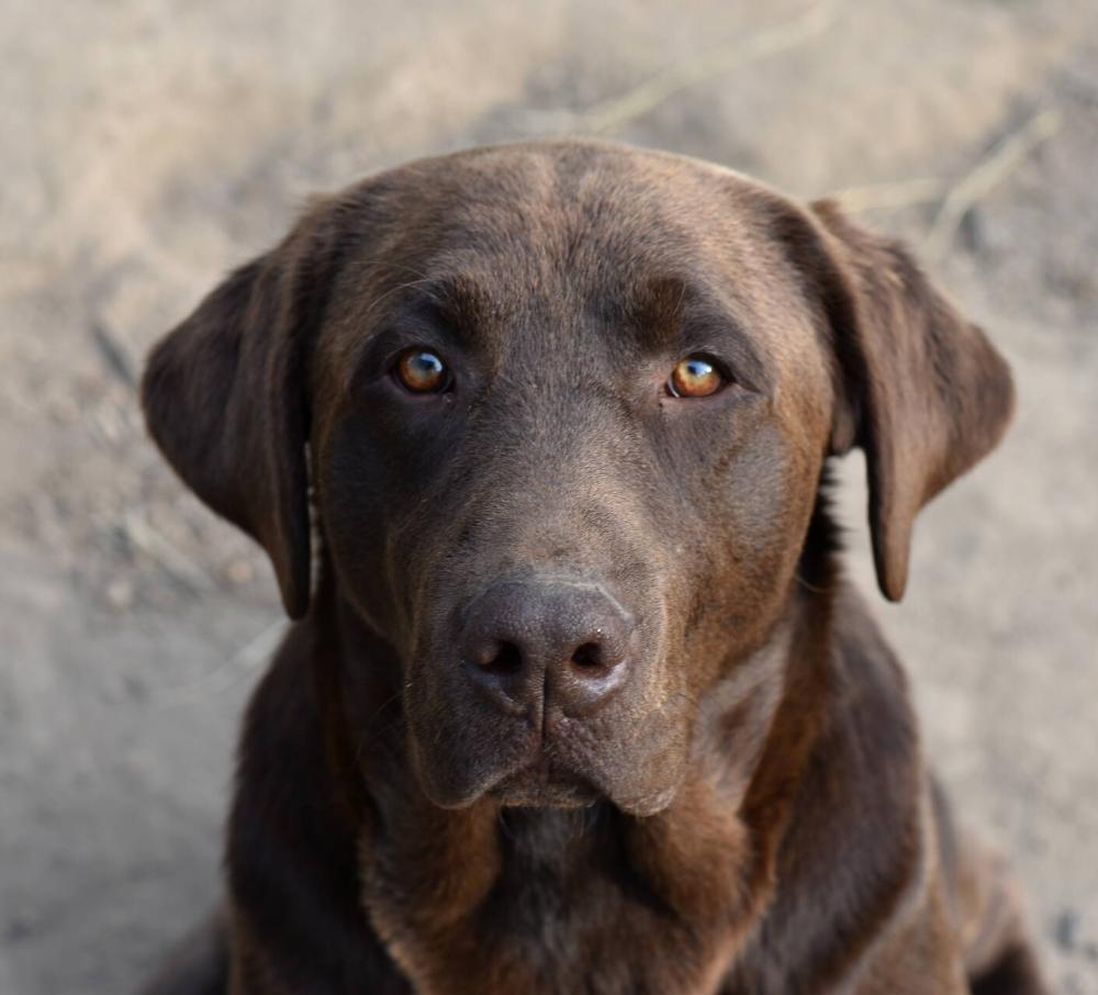 Our Labradors Copper Johnson Point Labradors Labrador Retriever Labrador Labrador Retriever Training