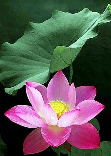 Magic Of Nature 蓮の花 美しい花 睡蓮 花