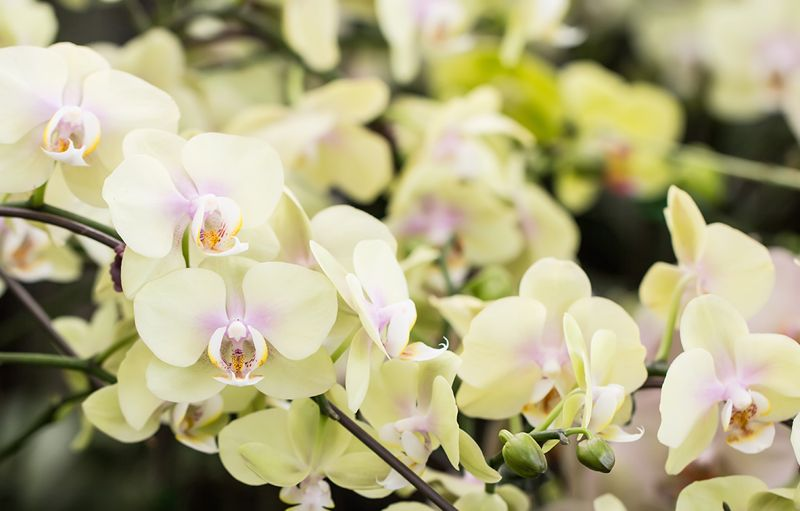 How To Produce Almost Never Ending Blooms In A Phalaenopsis Orchid Care Orchids Dendrobium Orchids