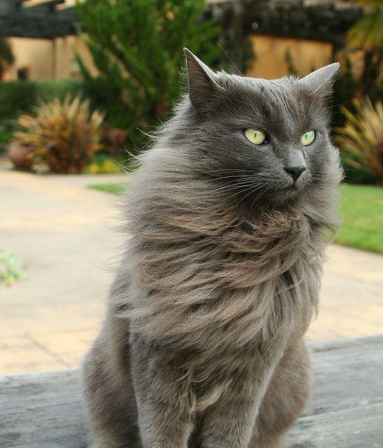 Magnifique yeux verts   cats   Gatos, Gato azul ruso και ...