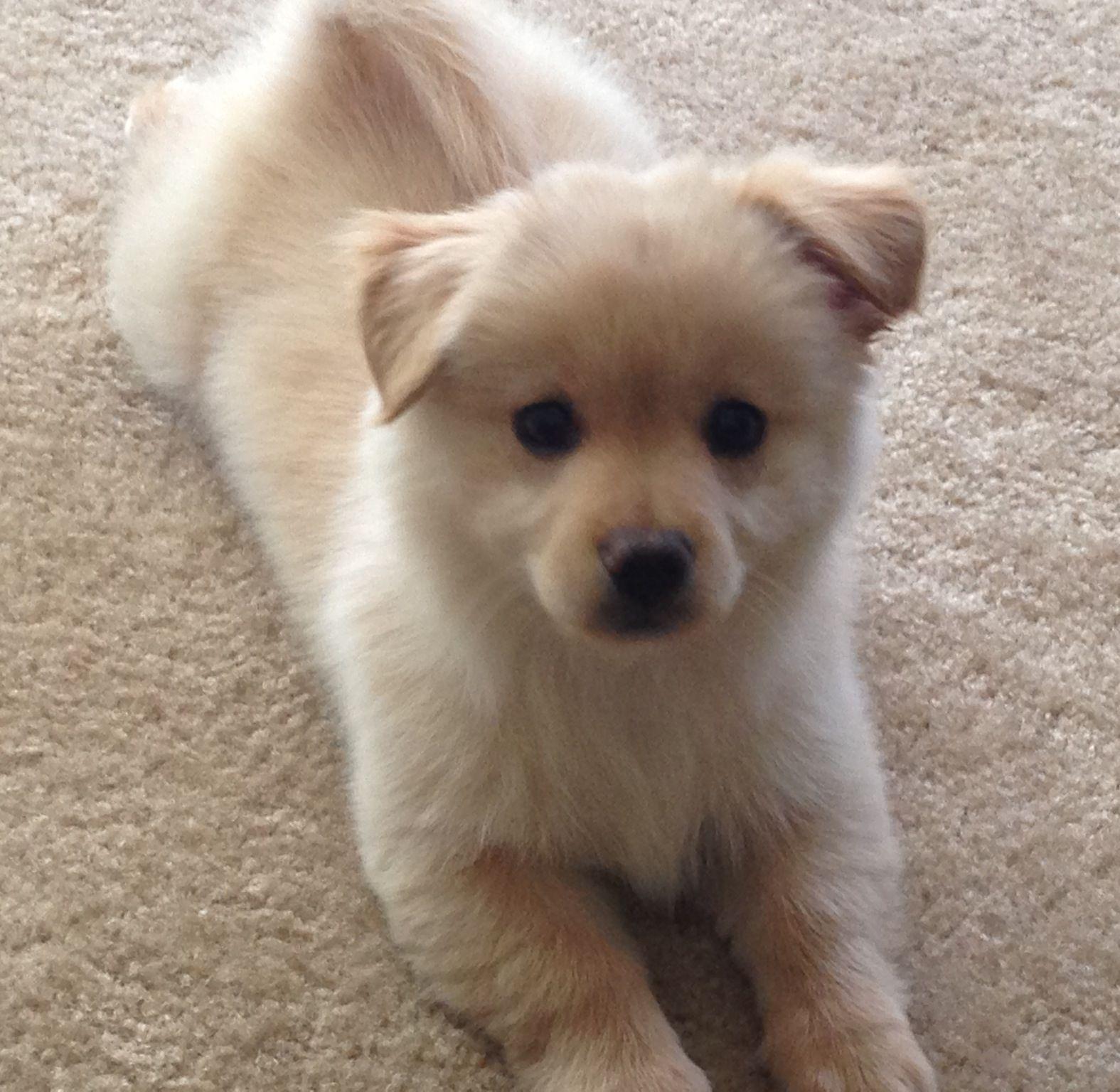 My Adorable Pomchi 1 2 Pomeranian 1 2 Chihuahua I 3 Him