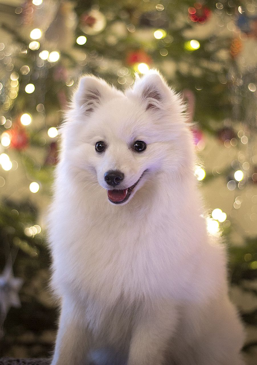 "spartathesheltie: ""Luna thinks we should do Christmas all the time """