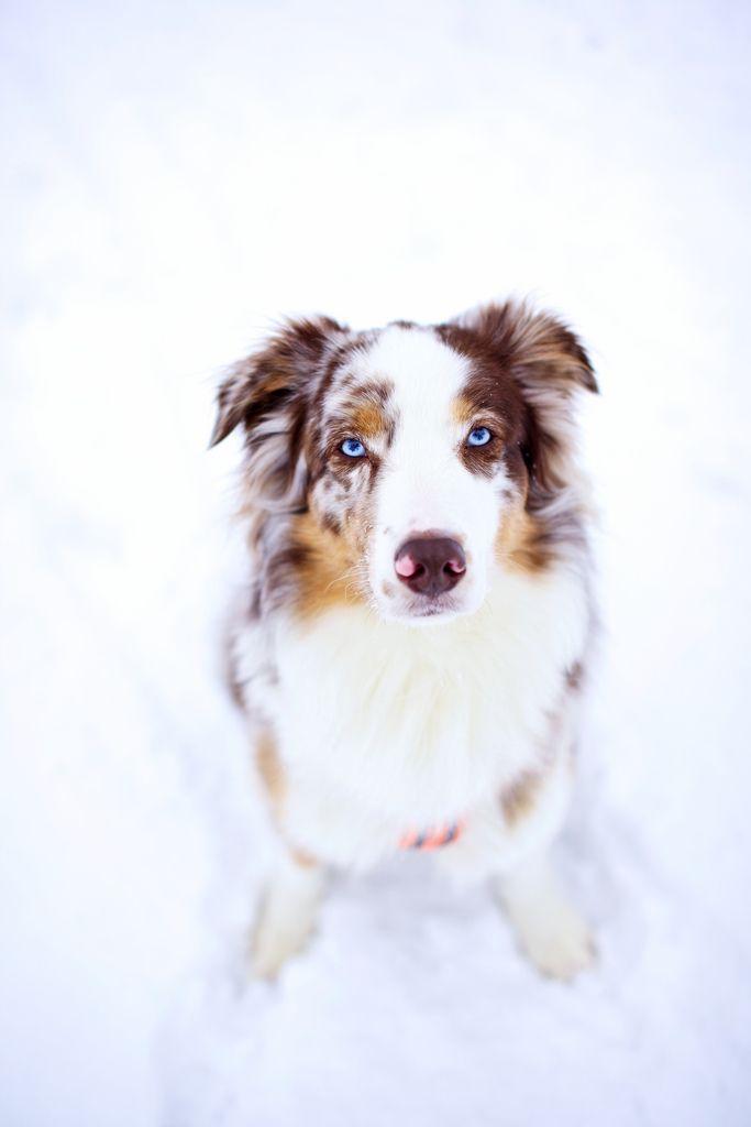 Red Merle Australian Shepherd Click Here To Find Out More Googydog Com Australian Shepherd Aussie Dogs Aussie Shepherd