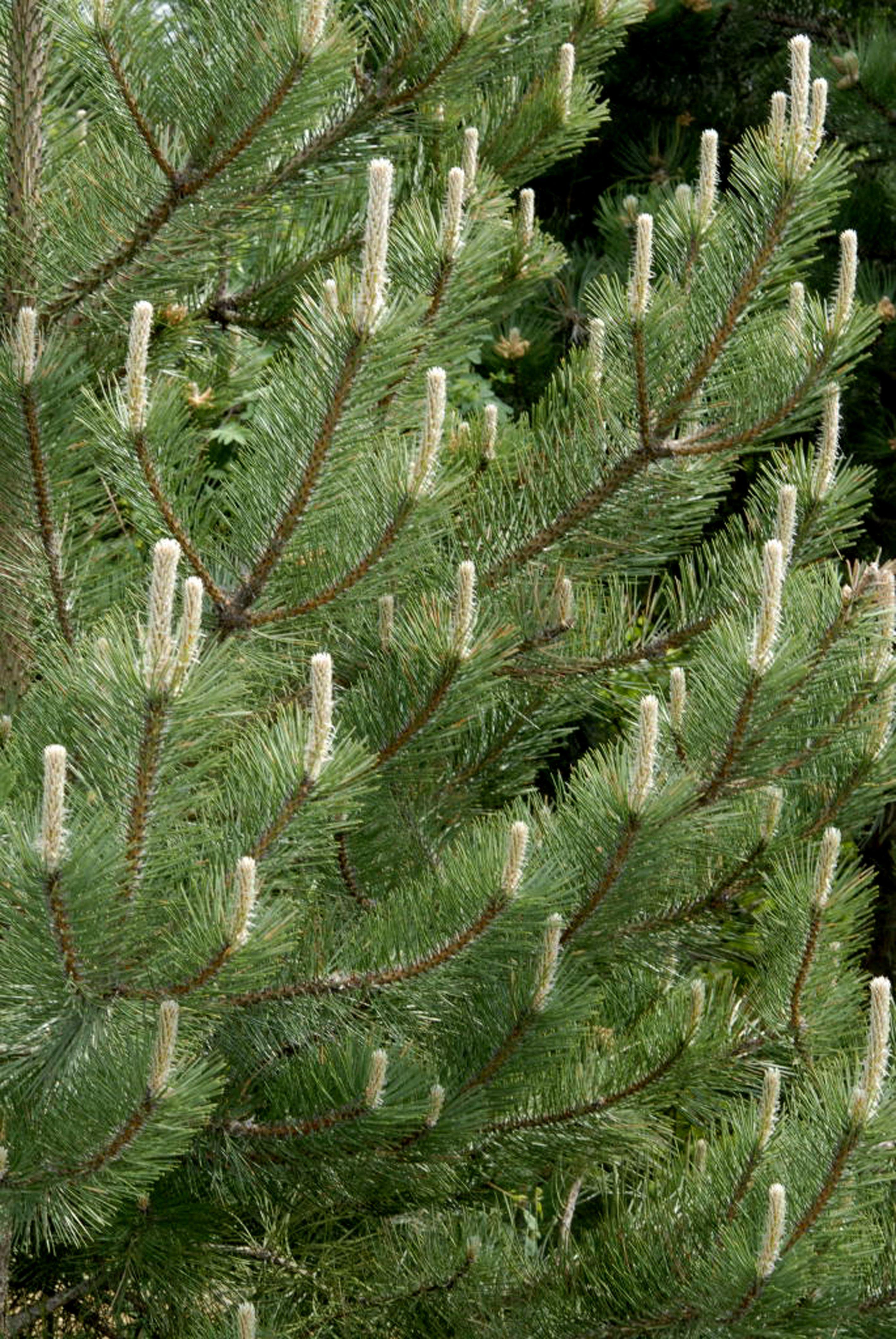 Pinus Radiata - Monterey Pine Pinaceae
