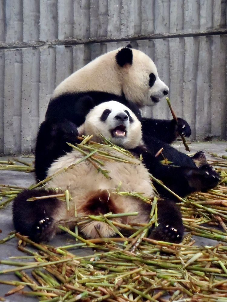Chubby panda barkingside