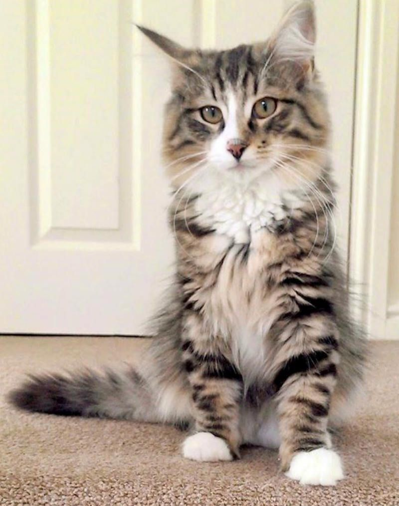 Missing Free Cats And Living Within A Pet Food Factory Cats Buy A Kitten Norwegian Forest Cat