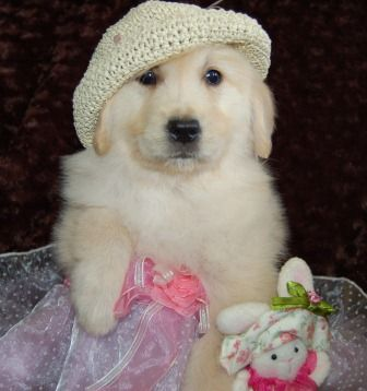 English cream golden retieveres, cream puppies, Golden retriever puppies for sale
