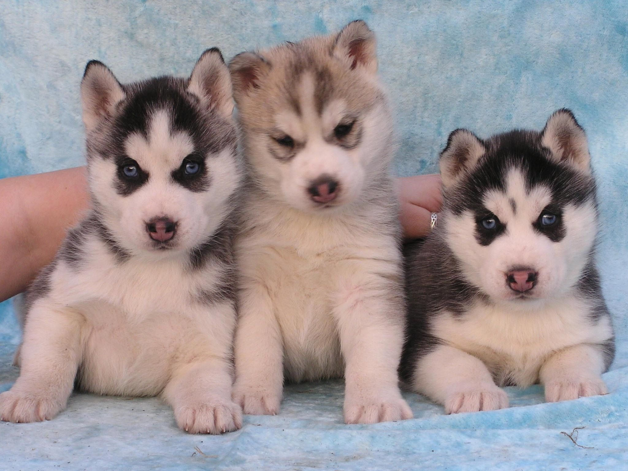Free Siberian Husky Puppies Wallpaper For Your Desktop Phone We Have The Best Cute Animal Wallpapers P Cute Husky Puppies Siberian Husky Dog Beautiful Dogs