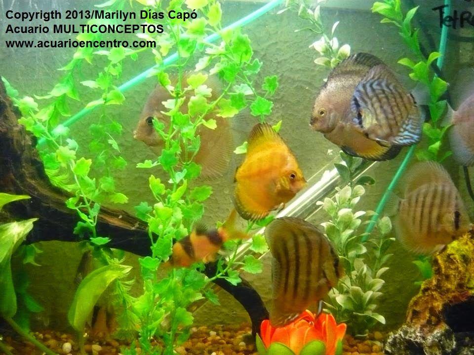 peces tropicales de agua dulce mis peces en
