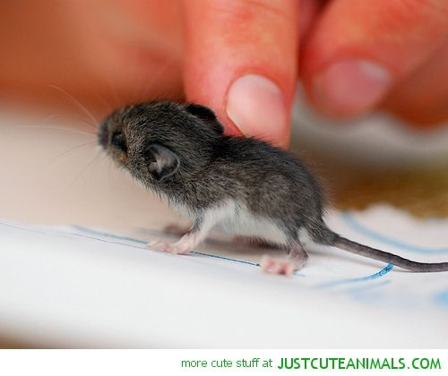 tiny mouse cute animals pinterest mice and animal