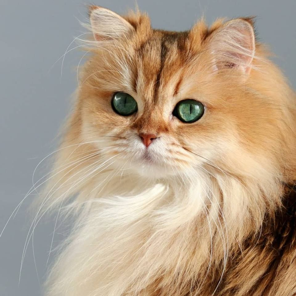 Golden British Longhair Cat Cute Cats And Dogs Cute Cats Cats