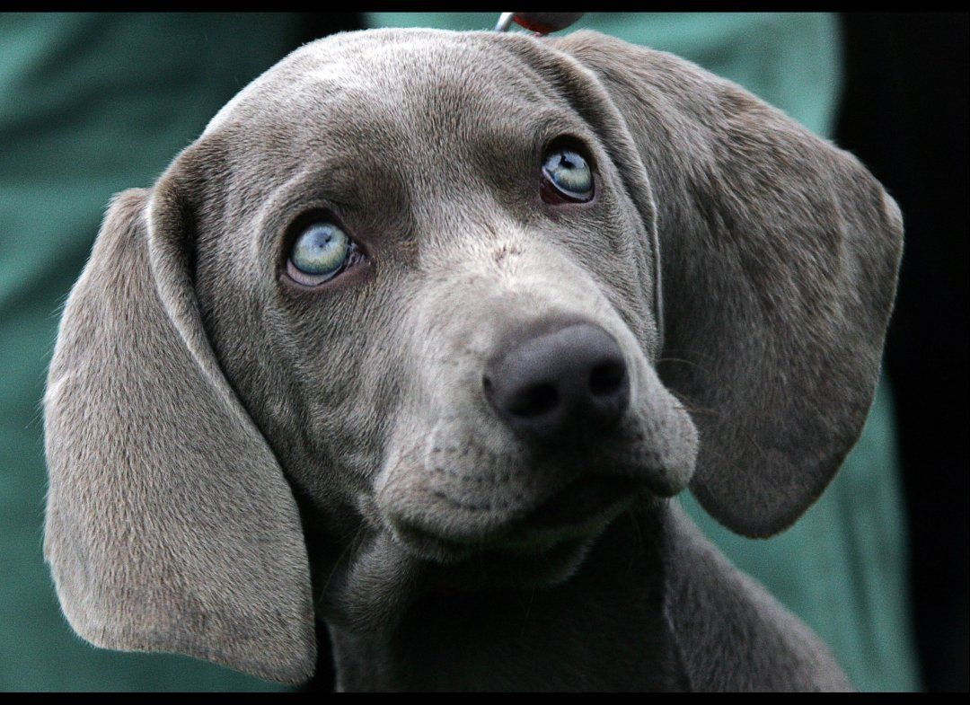 So Cute! Dog Helps Elderly Owner Weimaraner puppies