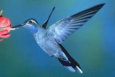colibri azul