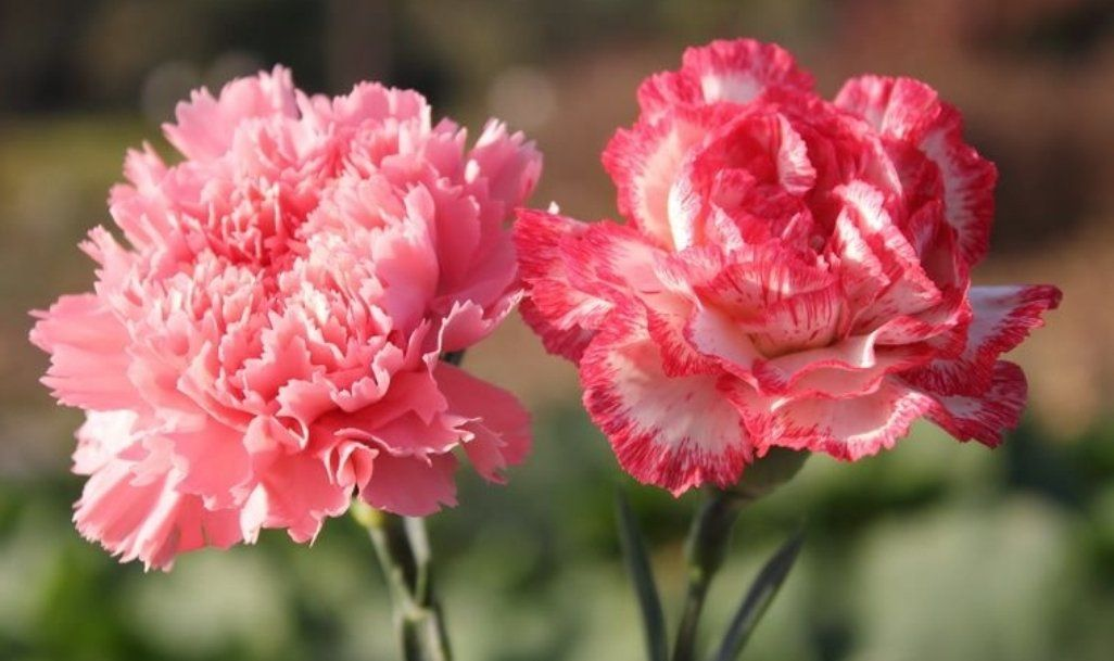The Flower Shop On Twitter Carnation Flower Pictures Carnation Flower Flower Pictures