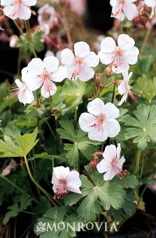 Great news for #geranium lovers. The Perennial Plant Association named Biokovo Geranium the 2015 #Perennial Plant of the Year … and we grow it!