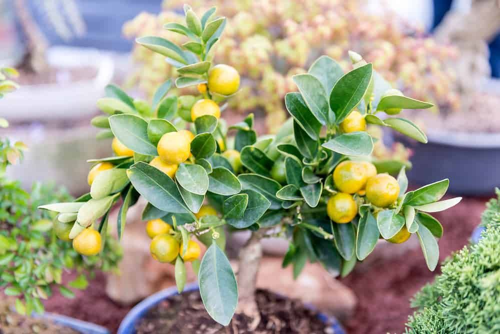 12 Fruit Trees You Can Grow Indoors For An Edible Yield Dwarf Fruit Trees Growing Fruit Trees Growing Citrus